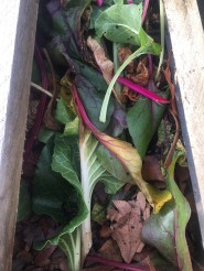 Rainbow chard in the composter